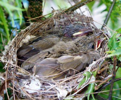 ヒナ鳥の卵が孵るのは卵殻膜がカギ!