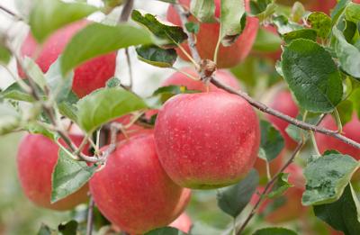 なめらかでハリのある肌を作るリンゴ幹細胞エキス