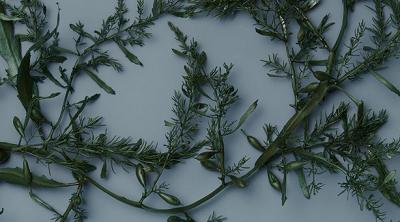 ビタミンやミネラルが豊富な海藻エキス