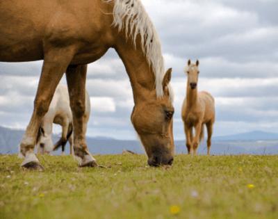 ニュージーランドの高級サラブレッド馬の「プラセンタ」