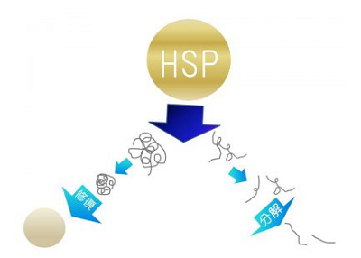 ヒートショックプロテイン(HSP)の種類