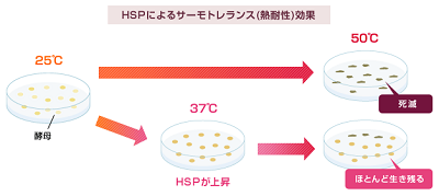 ヒートショックプロテイン(HSP)は、どのようにして発見された?