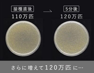 黄色ブドウ球菌を用いて実験をしてみた画像を見てみましょう!