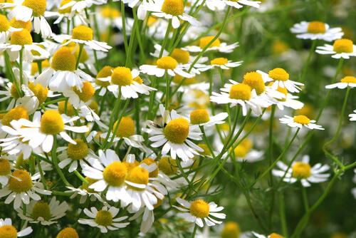 カミツレ花エキス|ヌルホワイト