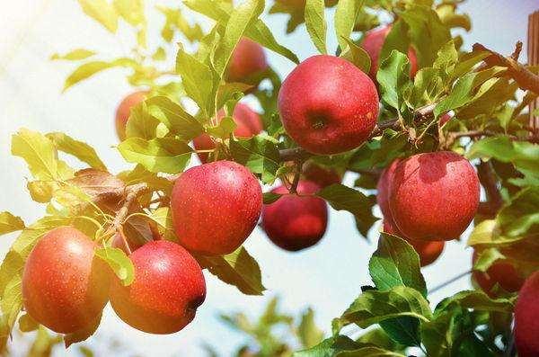 リンゴ果実培養抽出エキスでアンチエイジング